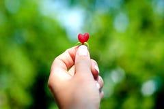 Chèvrefeuille de baie sous forme de coeur rouge dans une main du ` s de fille, amour de concept Images stock