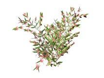 Chèvrefeuille de floraison Image stock