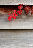 Chèvrefeuille en automne Photographie stock