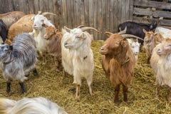 chèvres à la ferme Photographie stock libre de droits