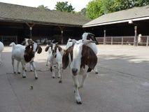 Chèvres à une ferme Images libres de droits