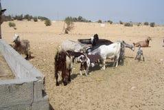 Chèvres égarées dans le désert saoudien recherchant la nourriture Image stock