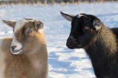 Chèvres. Image stock