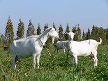 Chèvres Image stock