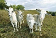 chèvres Photo stock