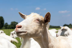 Chèvres Photos stock