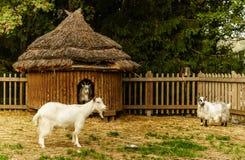 Chèvres Images libres de droits