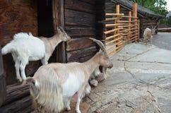 Chèvres Photo libre de droits