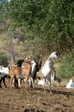 Chèvres affamées Photos libres de droits