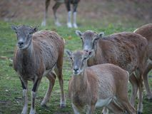 Chèvres africaines sur le regard drôle de regarder de ferme photographie stock libre de droits