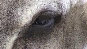 Chèvres, animaux de ferme, yeux clips vidéos