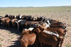 Ch?vres attendant pour ?tre trait en Mongolie images libres de droits