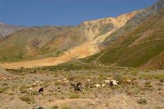 Chèvres au Chili Photo stock