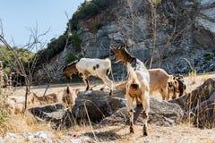 Chèvres au-dessus du mur Photos libres de droits
