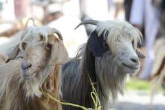 Chèvres au marché de chèvre en Oman Photographie stock libre de droits