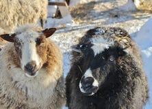 Chèvres au musée en plein air Hägnan i Gammelstad Images stock