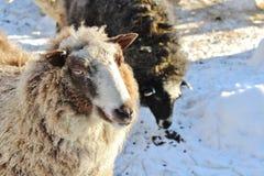 Chèvres au musée en plein air Hägnan i Gammelstad Photos stock