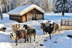 Chèvres au musée en plein air Hägnan i Gammelstad Image stock