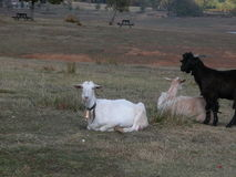 Chèvres au twilght Photo stock