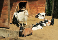 Chèvres avec des jeunes garçons Image stock