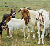 Chèvres avec des kelpies australiens de crabots de fonctionnement Image libre de droits