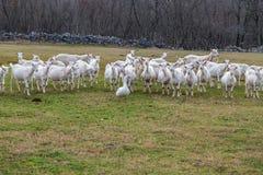 Chèvres avec des oies sur le pâturage Photos libres de droits