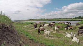Chèvres avec du charme banque de vidéos