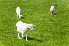 Chèvres blanches photographie stock libre de droits