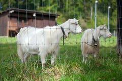 Chèvres blanches Photo libre de droits