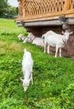 Chèvres blanches dans le village marchant près d'une maison en bois Photos libres de droits