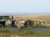 Chèvres colorées d'un troupeau sur Fuerteventura Images libres de droits
