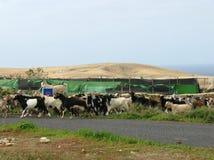 Chèvres colorées d'un troupeau sur Fuerteventura Image stock