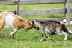 Chèvres combattant avec leurs têtes Photo stock