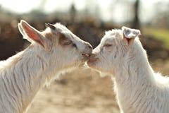 Chèvres d'amour Images stock
