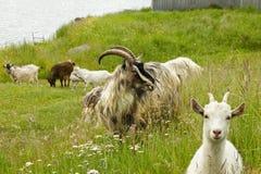 Chèvres d'animaux de ferme dans l'herbe verte et les fleurs Image stock