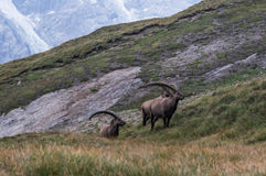 Chèvres d'arbre dans les Alpes Photographie stock libre de droits