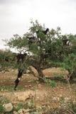 Chèvres dans l'arbre Photos stock