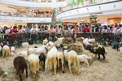 Chèvres dans l'exposition de variété d'animal familier 2013 Photographie stock libre de droits