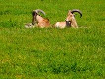 Chèvres dans l'herbe Photographie stock libre de droits