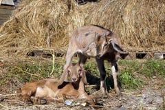 Chèvres dans la campagne Image libre de droits