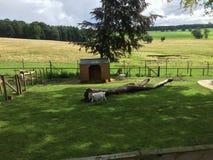 Chèvres dans la Chambre de Harewood, Leeds, West Yorkshire, R-U Photo stock