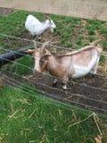 Chèvres dans la Chambre de Harewood, Leeds, West Yorkshire, R-U Photos libres de droits