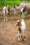 Chèvres dans la ferme Image stock