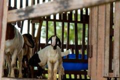 Chèvres dans la ferme Images stock