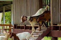 Chèvres dans la ferme Photos stock