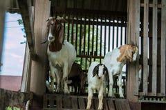 Chèvres dans la ferme Photographie stock