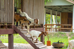 Chèvres dans la ferme Photos libres de droits