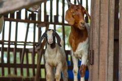 Chèvres dans la ferme Photo stock
