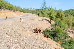 Chèvres dans la forêt Images libres de droits