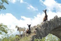 Chèvres dans la montagne et le ciel bleu photographie stock libre de droits